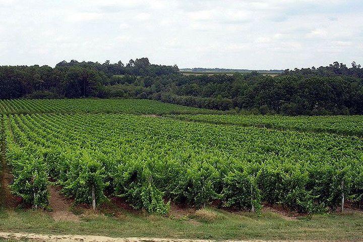 Deep green rows of vines in Armagnac