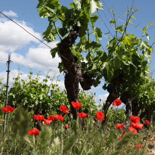Wildflowers spring up among the rows of vines at Chene Bleu in the Southern Rhône.