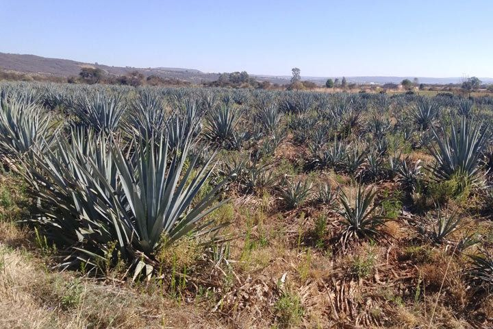 Fields of agave in Mexico