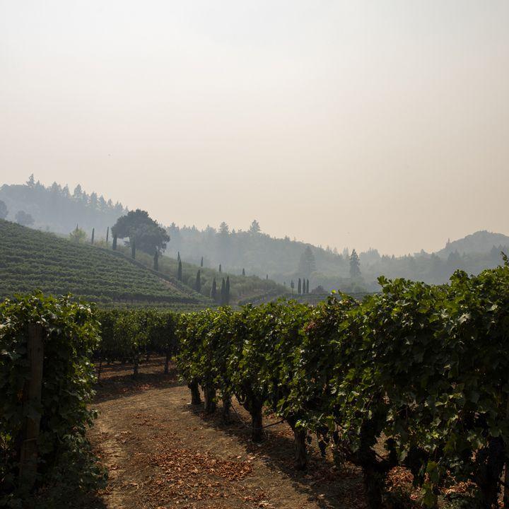 Smoky vineyard