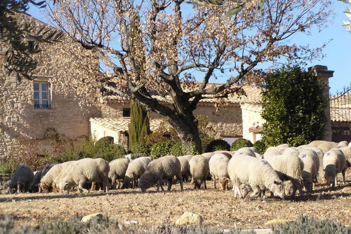 Sheep reduce the need for weed management via hand and tractor.