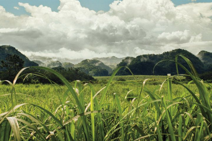 A vast, green sugar cane field in Jamaica with lush green mountains in the background