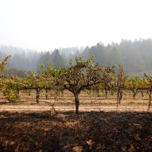 A row of fire-damaged grapevines at a vineyard in September 2020 in St. Helena, California. The Glass Incident Fire burned tens of thousands of acres in Sonoma and Napa counties, destroying numerous wineries and structures.