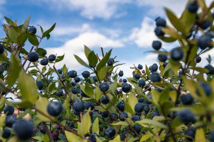 A field of myrtle bushes with purple berries
