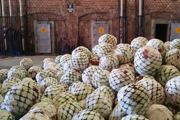 A pile of agave piñas ready to be roasted.
