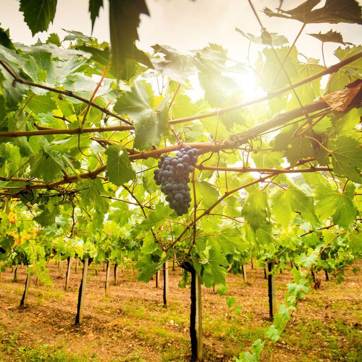Cannonau is a grape native to the Italian island of Sardinia.